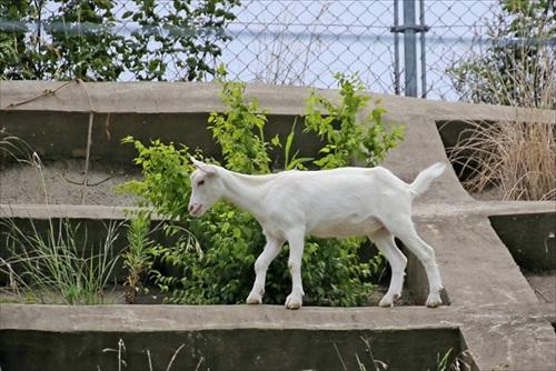 ヤギのポニョ一般公開