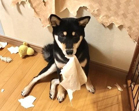 柴犬はいいですよ でも家を破壊します 黒柴 りつ すみ イタズラ 壁紙