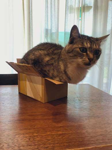 小さい箱にむりやり入る猫