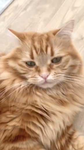 猫 あくびのついでに声でる かわいい ちくわ