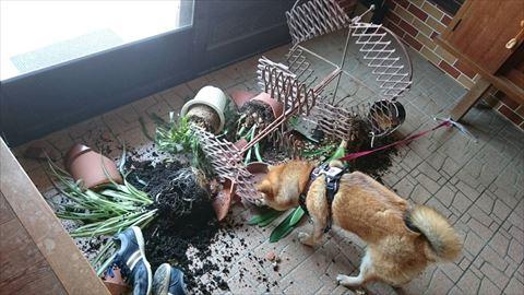 柴犬のイタズラ