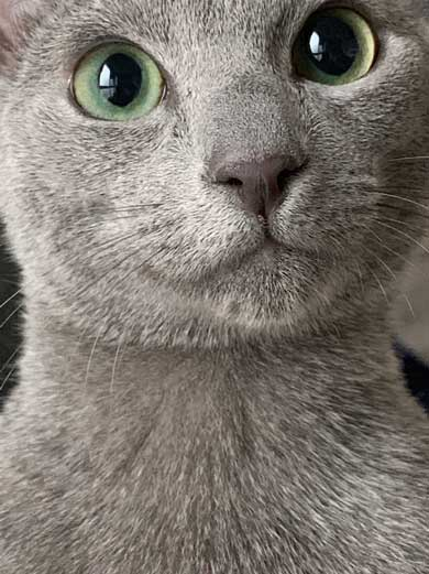 美しすぎる 猫 美猫 きれい ロシアンブルー 写真