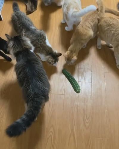 ゴーヤとネコちゃんたち