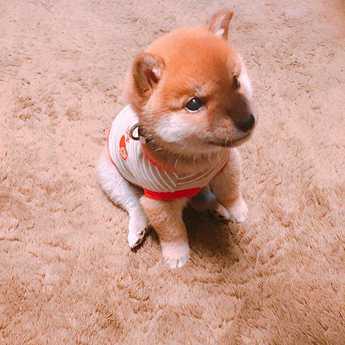 柴犬りんご郎さん