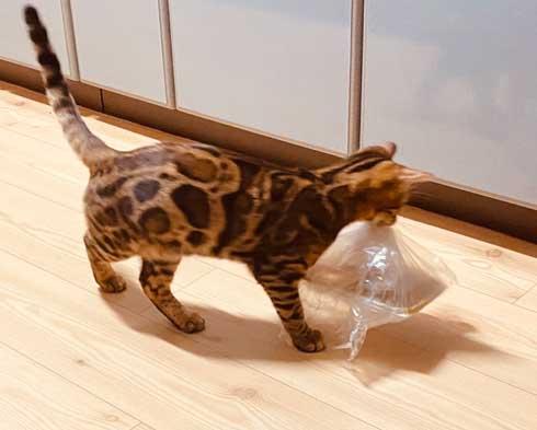 猫 ベンガル 買い物袋 器用 開けて お惣菜 持ち帰り 賢い 不機嫌