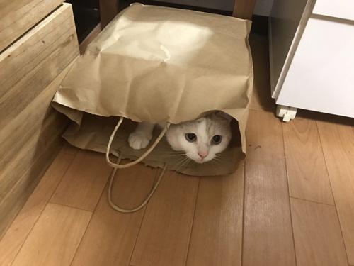 紙袋猫ちゃん
