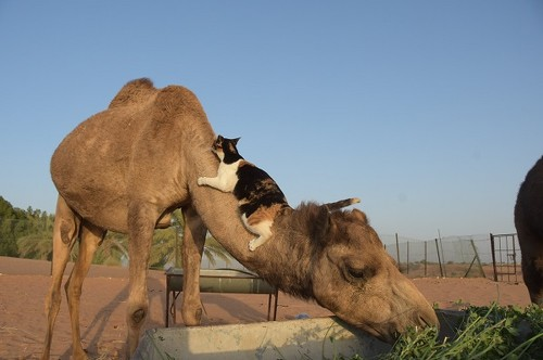 ラクダさんと猫ちゃん