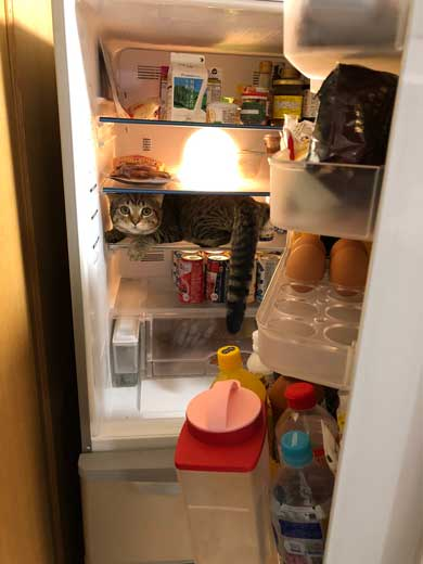 冷蔵庫に猫ちゃん