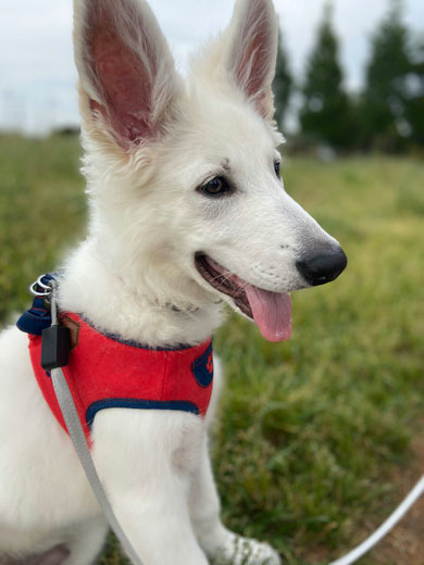 ホワイトシェパード 大きく 成長 犬 子犬