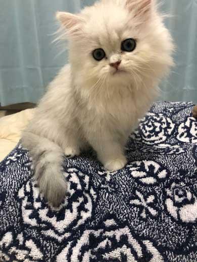 スーパーサイヤ 猫 コウメ 子猫 毛並み ドラゴンボール