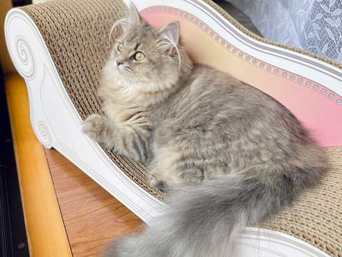 半年 成長 猫 サイベリアン ビフォーアフター
