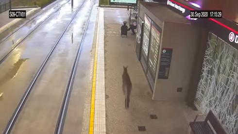 路面電車 カンガルー 駆け込み