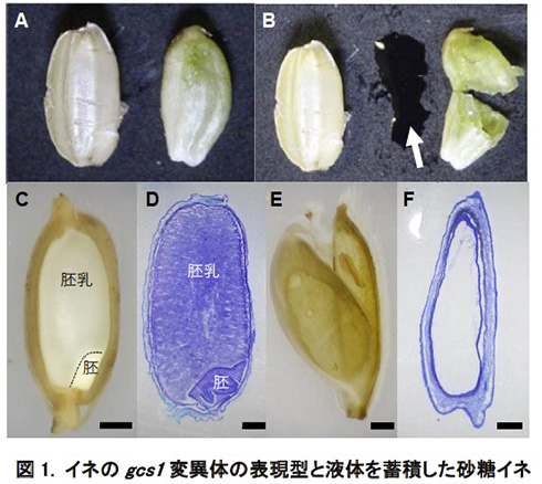 受精に失敗したイネが米粒ではなく砂糖水を生成 名大チームがゲノム編集技術で「砂糖イネ」を開発