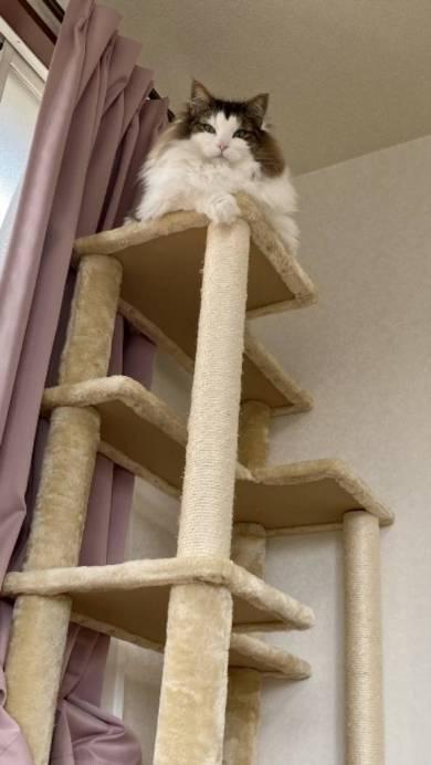 猫 ノルウェージャンフォレストキャット ダンボール