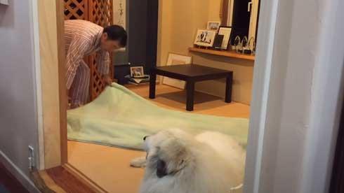 グレートピレニーズ 犬 お父さんは良い 息子には無慈悲 格差 反応 飼い主 今日のルンルン アラン