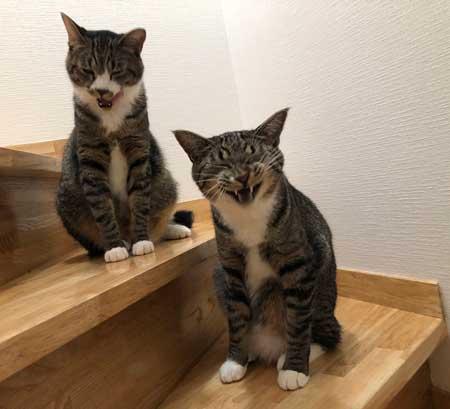 にゃー ぱぷ 猫 鳴き声