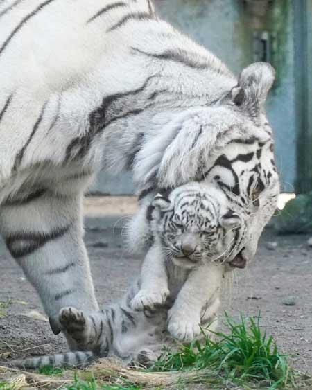 ホワイトタイガー 赤ちゃん くわえられ 無抵抗 伊豆アニマルキングダム