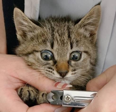 猫 はじめての爪切り きなこちゃん