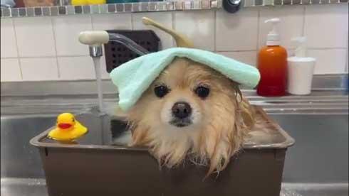 ポメラニアン 赤ちゃん 入浴方法 教える 助手 犬 ごっこ