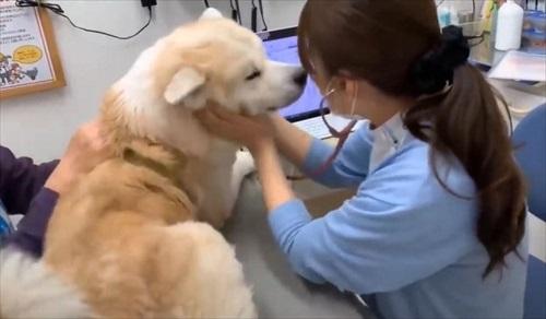 女医さんに会いたい秋田犬のそうすけ君