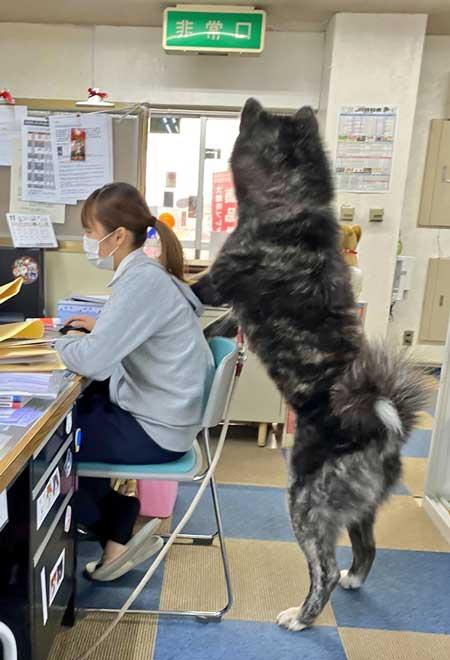 秋田犬 保存会 秋田犬会館 大きい デカい 看板犬 スバル