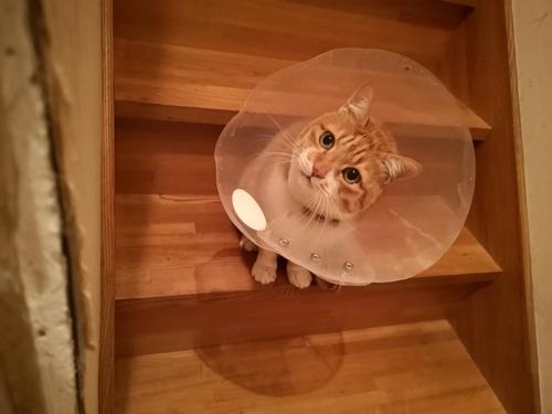 エリザベスカラー猫ちゃん