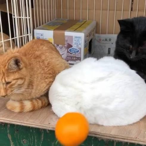 猫 鏡餅 てんちゃん 熊本県 湯島 猫島