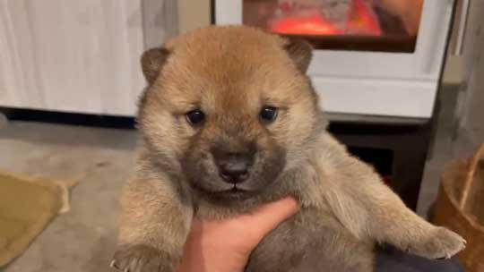 山陰柴犬 かわいい 歯 噛みたい モコモコ 子犬