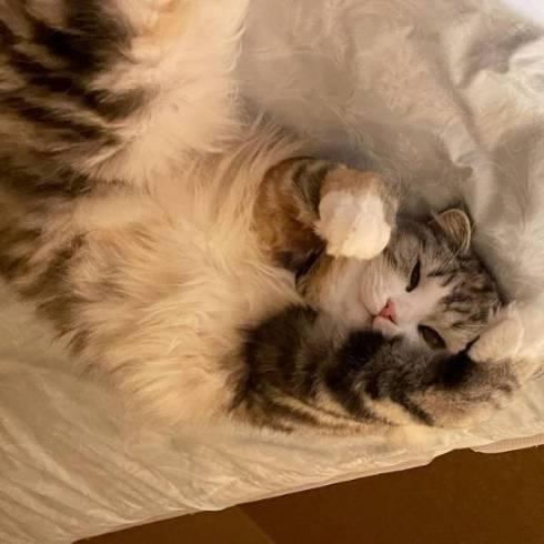 猫 ねむろぐ ねむちゃん スコティッシュフォールド