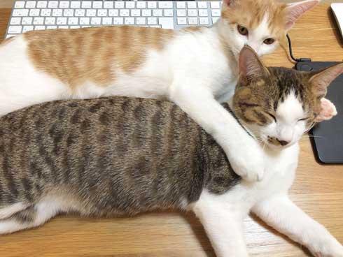 猫 在宅 最高 寝姿 幸せ 飼い主 仕事 デスク