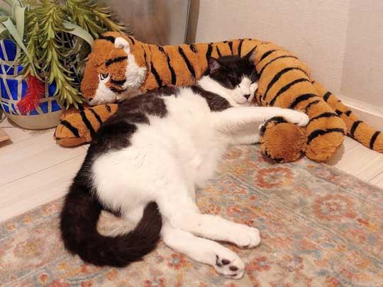 二度と野良には戻れない 猫 ハチワレ 野生 忘れた 寝顔 ミーくん