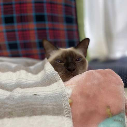 気持ちよく 寝る 猫 トンキニーズ 後ろ足 アサリ 犬神家