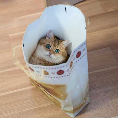 Hosico Instagram ムチムチ 猫 スコティッシュストレート 紙袋 かわいい