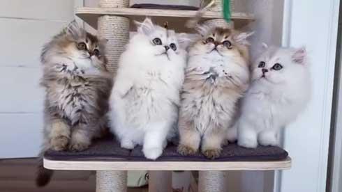 ブリティッシュロングヘア ブリティッシュショートヘア 猫 Golden Moonglade