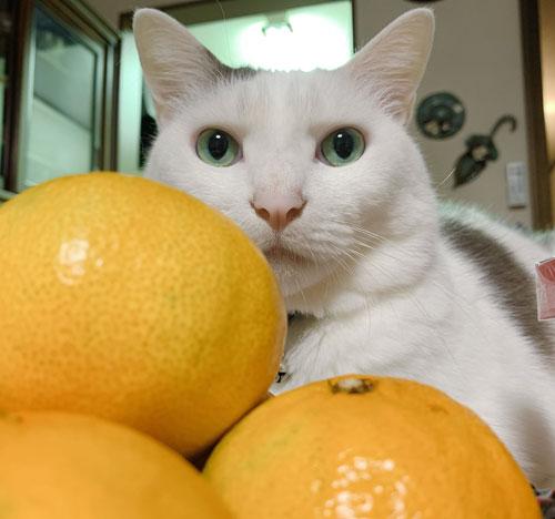 白い方の猫ちゃんとみかん