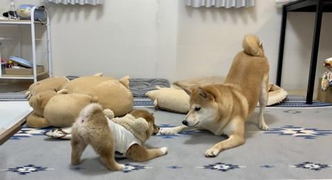 柴犬プロレス