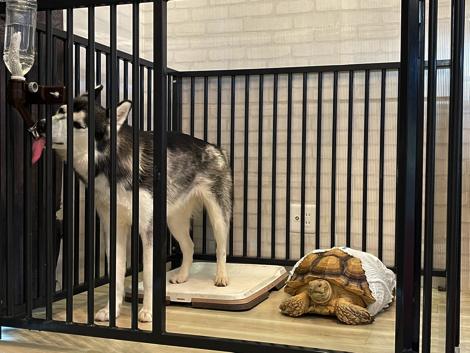 犬のケージでくつろぐリクガメ