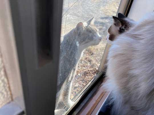ロミオとジュリエット 猫 室内 屋外 ラグドール なめ子