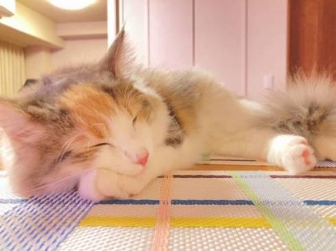 猫 ほたてちゃん しっぽがピーン