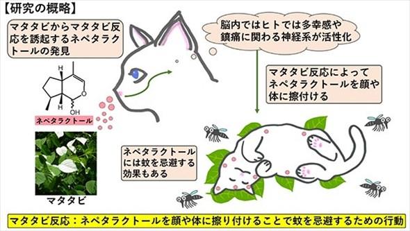 ネコのマタタビ反応