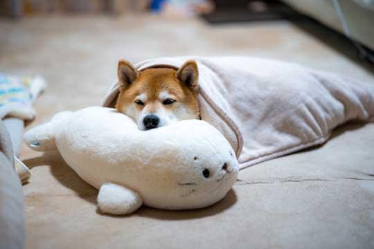 柴犬 まる 散歩 基本こんな感じ 動かない 寝る