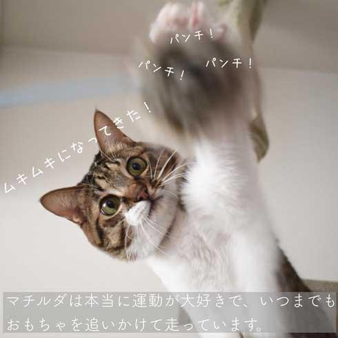 ぽっちゃり 猫 あるある おもちゃ 遊び