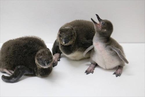 ペンギン相関図