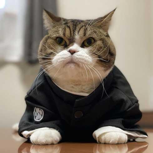 おっぴろげ 猫 まめすけ スコティッシュ かわいい ポーズ