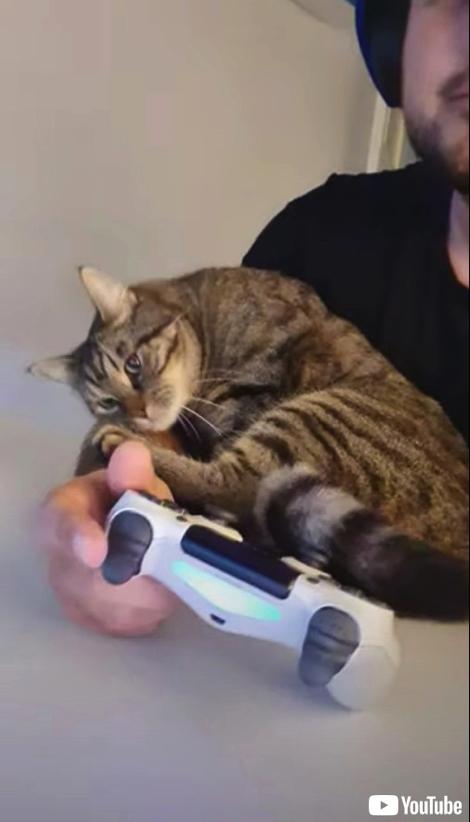 飼い主さんにかまって欲しい猫ちゃん
