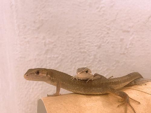 カナヘビさんたち