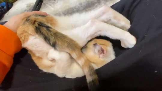 猫 甘え方 進化 三毛猫 オス ねこかます
