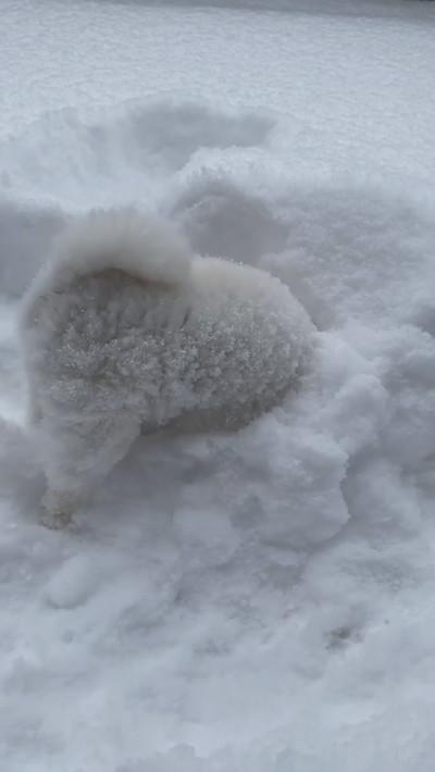 雪にはしゃぐポメちゃん