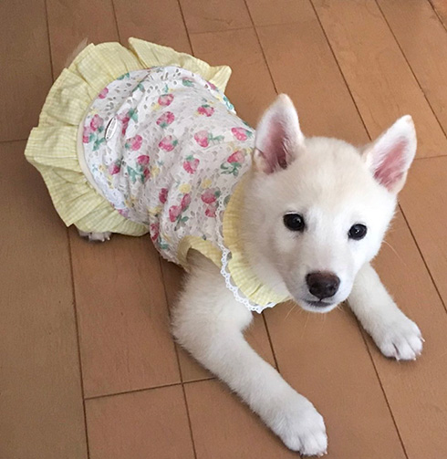 柴犬ゆきみさん