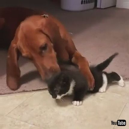 「Dog Licks Kitten Out Of Love And Affection - 1174996」